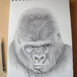Gorilla study 3