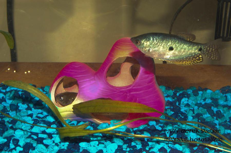 kittyfish and blue gourama by Hero-Ritsuka
