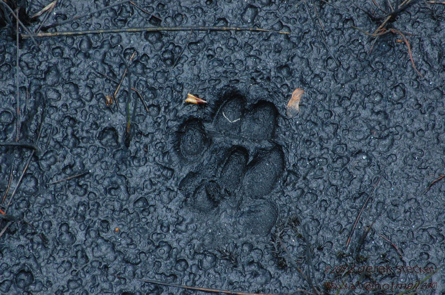 Paw print in the mud by Hero-Ritsuka