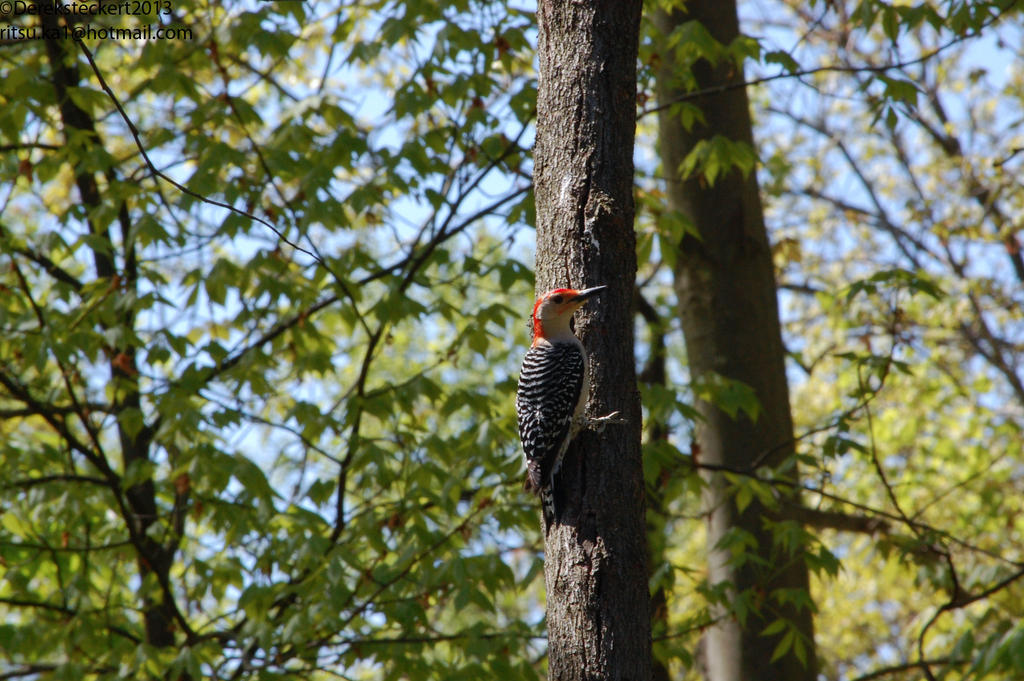 Red-Bellied Wood pecker by Hero-Ritsuka