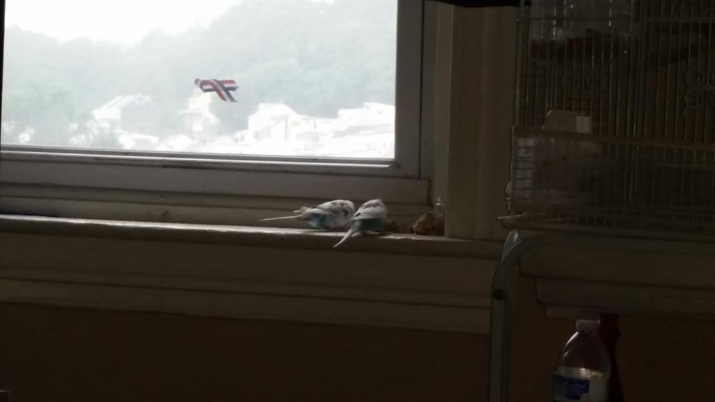 budgies on windowsill  by Hero-Ritsuka