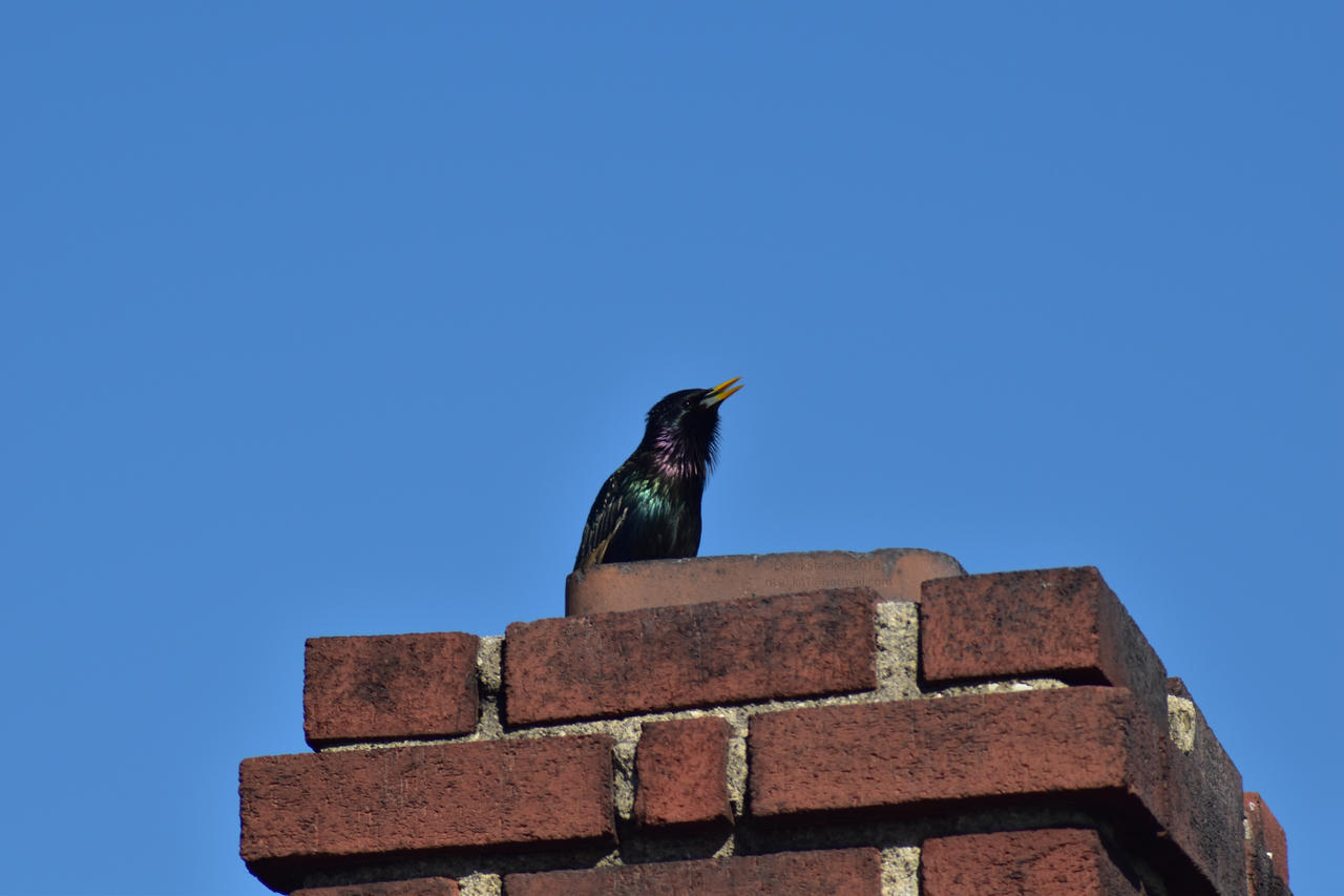 European Starling by Hero-Ritsuka