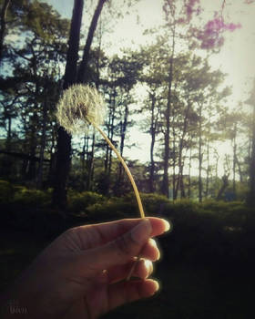 A Dandelion and a Memory