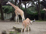 Giraffes--Adult and Baby