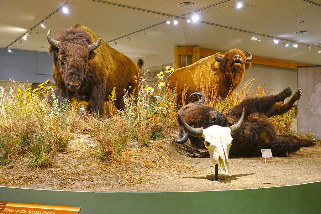 Buffalos Display at Buffalo Bill Cody Museum by Trisaw1