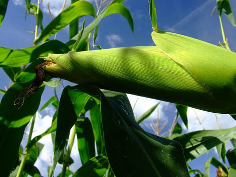 A Corn