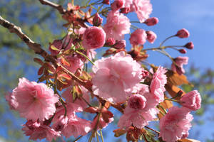 Japanese Cherry Blossoms by Angie-Pictures