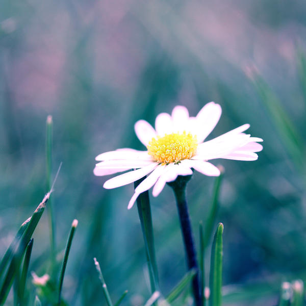 Daisy by Angie-Pictures
