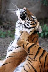 Tiger Scratch
