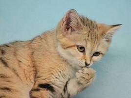 Pensive Sand Kitten by Jack-13