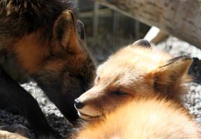 Woken Fox by Jack-13