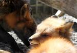 Woken Fox