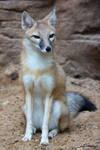 Swift Fox Sitting Pretty
