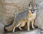Proud Grey Fox