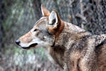 Red Wolf Profile
