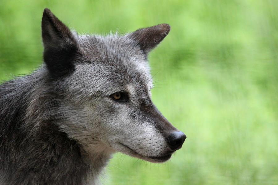 Derpy-Eared Wolf by Jack-13