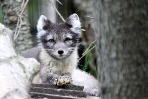 Chill Arctic Fox by Jack-13