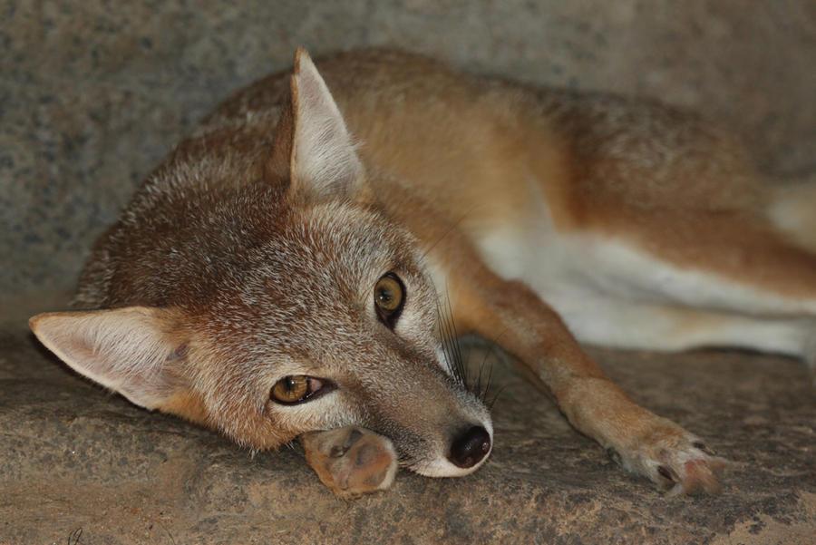 Swift Fox Question by Jack-13