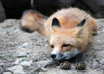 Drowsy Fox