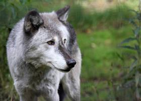 Graying Wolf by Jack-13