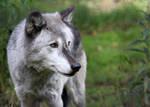 Graying Wolf