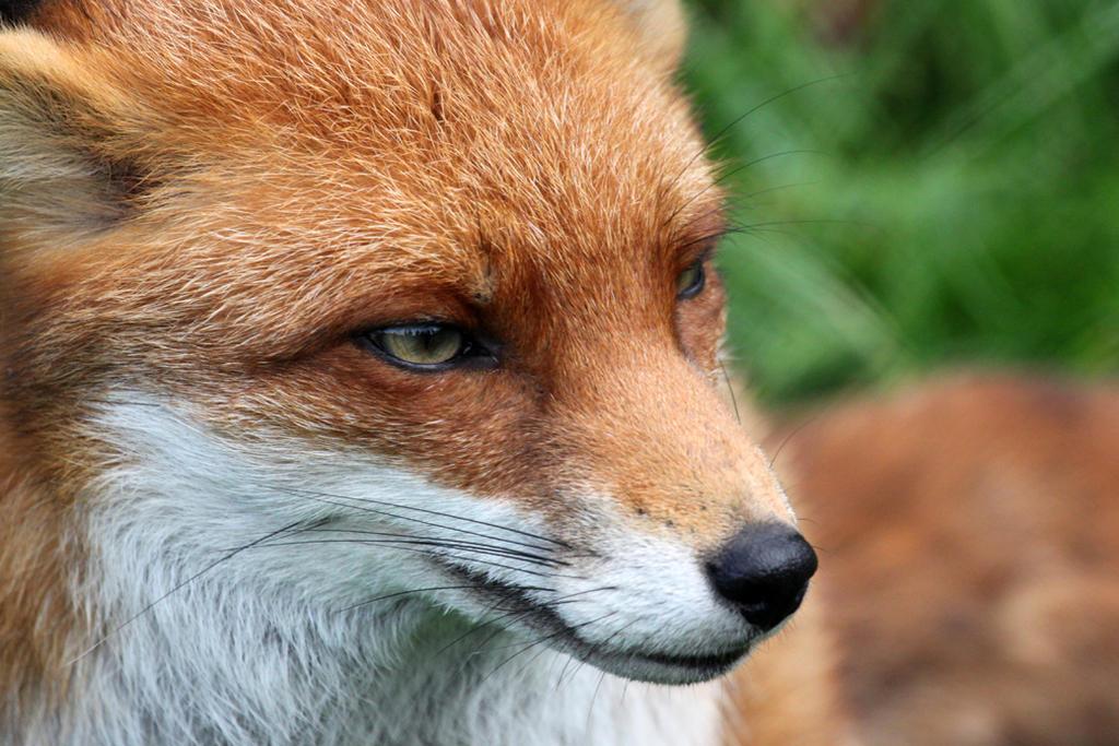 name fox eyes - photo #21