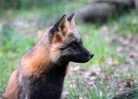 Ears Up Fox by Jack-13