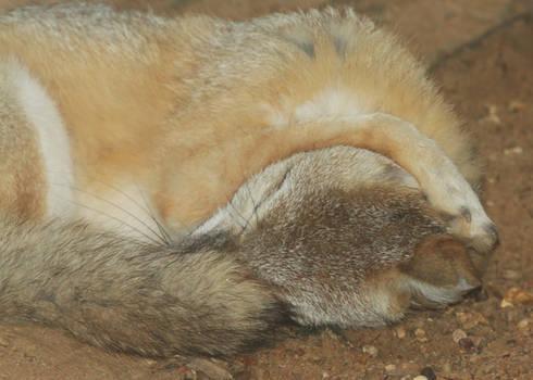 Swift Fox Trying to Sleep