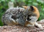 Compact Fox