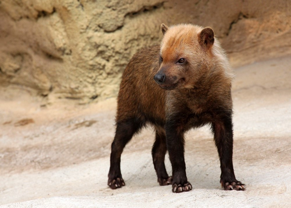 Bush Dog by Jack-13
