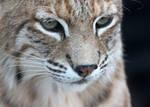 Bobcat Intensity
