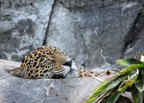 Jaguar on a Bed of Lettuce