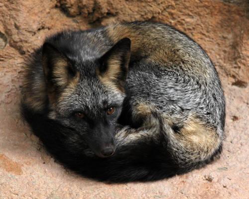 Ball-O-Cross Fox