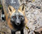 Sweet Cross Fox Kit