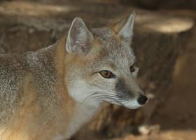 Swift Fox Observation