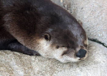 Sleeping Otter by Jack-13