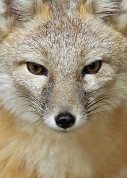 IITE Swift Fox Full 3