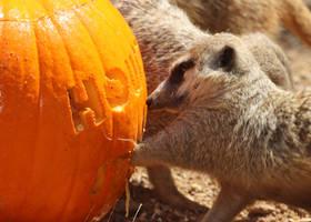 Meercat Pumpkin by Jack-13