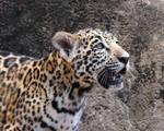 Silver Eyed Jaguar