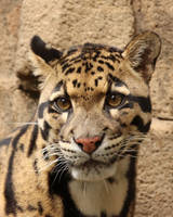 Clear Eyes Clouded Leopard by Jack-13