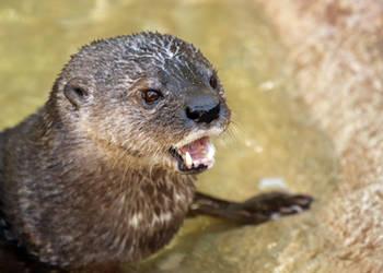 Shoutty Otter
