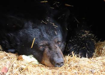 Bear Bed Head by Jack-13