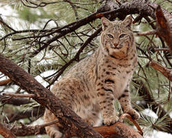 Bobcat Standing Tall by Jack-13
