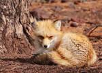 Grumpy Sleepy Fox Needs Coffee