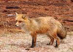 Judgmental Fox