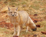 Noble Swift Fox