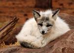 Oldtimer Platinum Fox