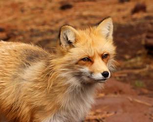 Glowing Fox by Jack-13