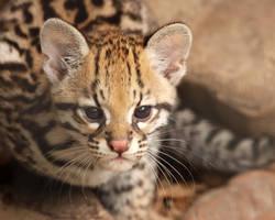 Kitten Stare by Jack-13
