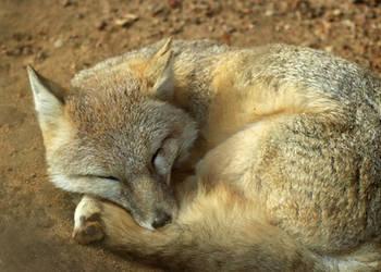 Swift Fox Peaceful